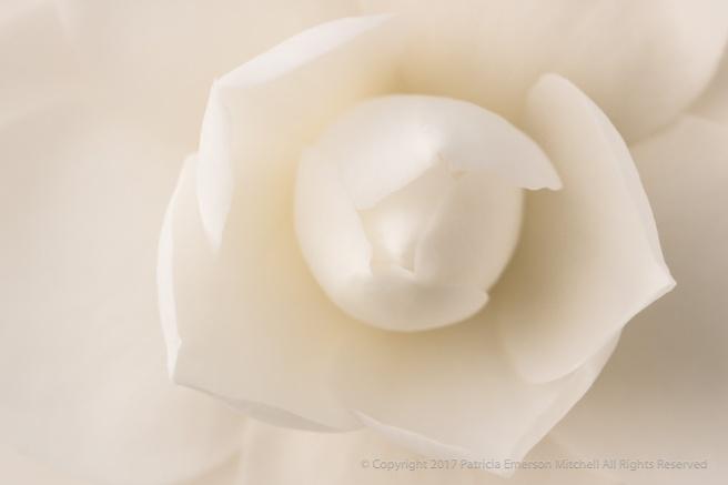 White_Camellia_(III),_2.27.17_.jpg