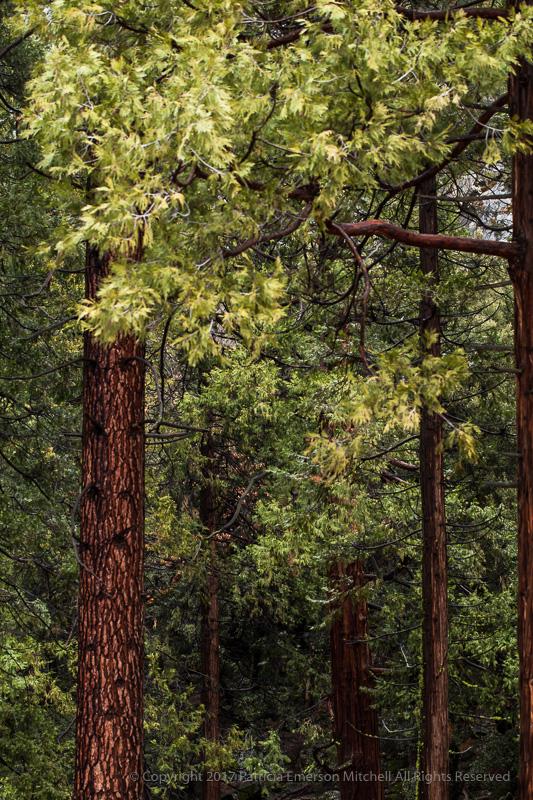 Yosemite_Trees.jpg