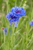 Blue Centaurea cyanus, 4.20.17