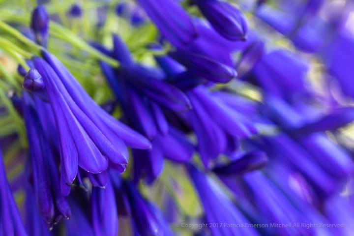Deep_Purple_Agapanthus,_7.25.17.jpg