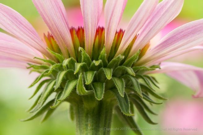Echinacea_Underside,_7.2.17.jpg