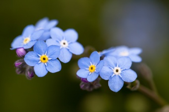Forget-Me-Not Flowers, 3.19.15