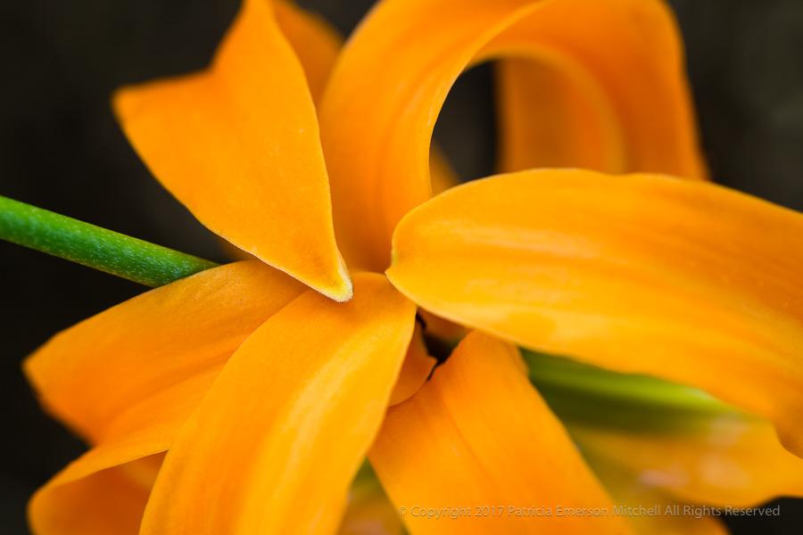 Orange_Lily_(I),_7.17.17.jpg