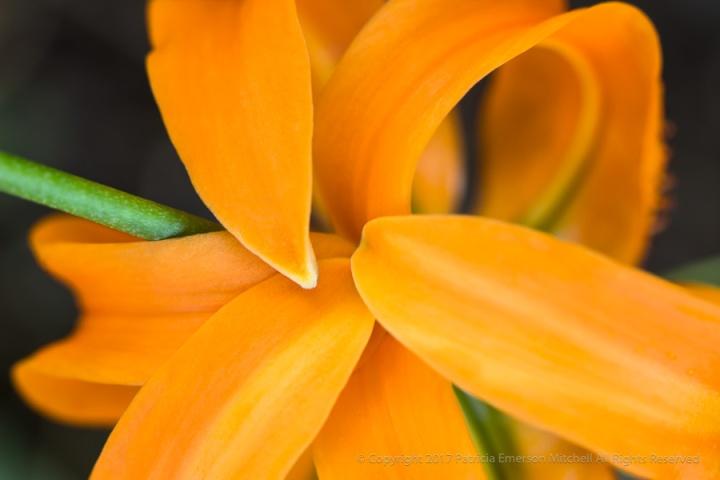 Orange_Lily_(II),_7.17.17.jpg