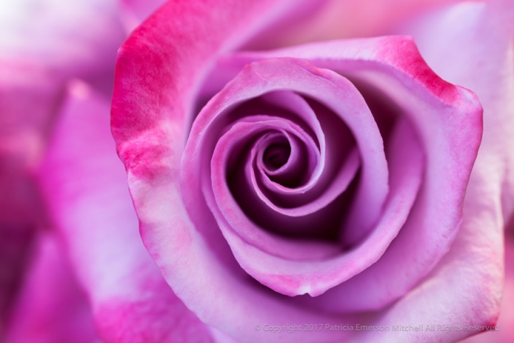 Shades_of_Pink_Rose,_3.31.15.jpg