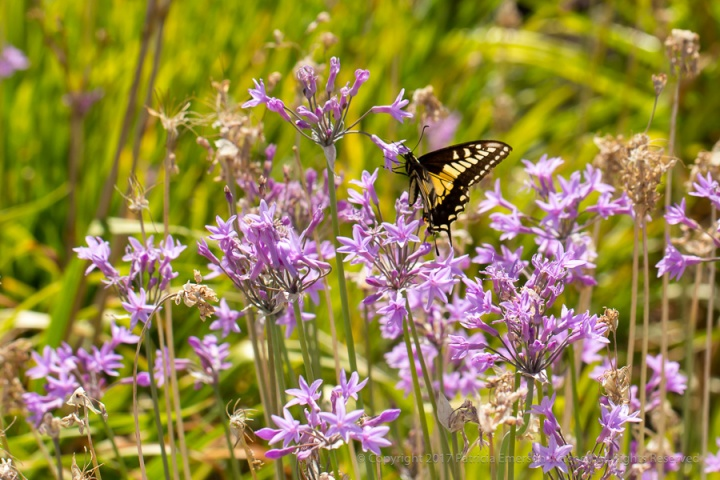Swallowtail,_7.14.17.jpg