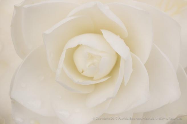 White_Camellia_(IV),_2.27.17_