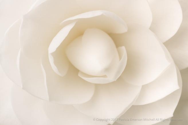 White_Camellia_(V),_2.27.17_.jpg