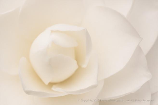 White_Camellia_(VII),_2.27.17_.jpg