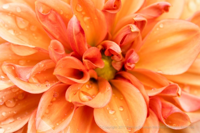 Orange_Dahlia_with_Water_Drops_(I),_8.3.17.jpg