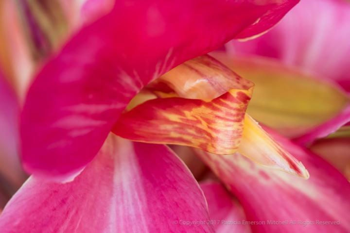 Pink_Canna_Flower,_8.16.17.jpg
