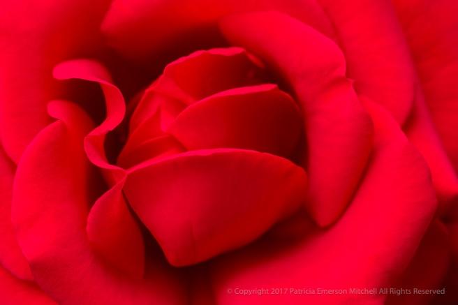 Rich_Red_Rose,_7.8.17.jpg