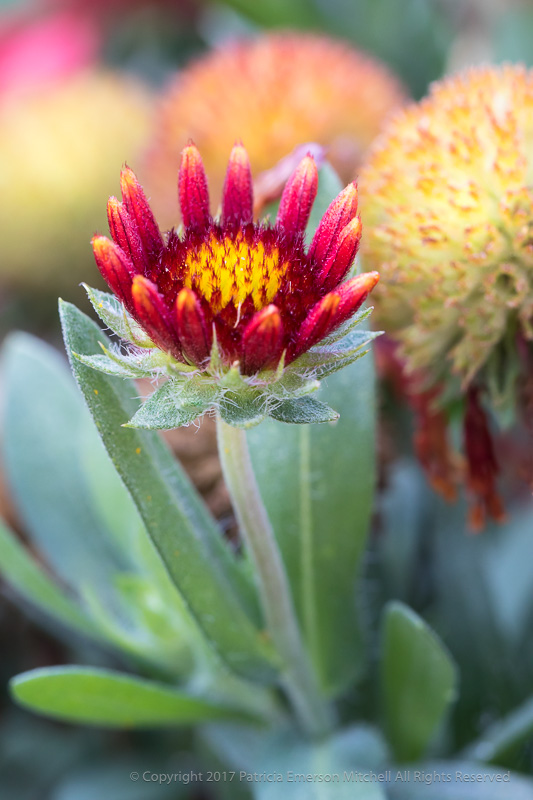 Small_Gaillardia_Flower,_8.16.17.jpg