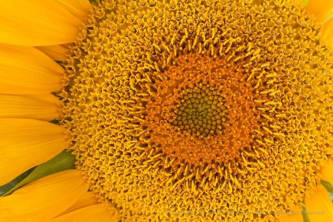 Sunflower_(I),_7.24.17.jpg