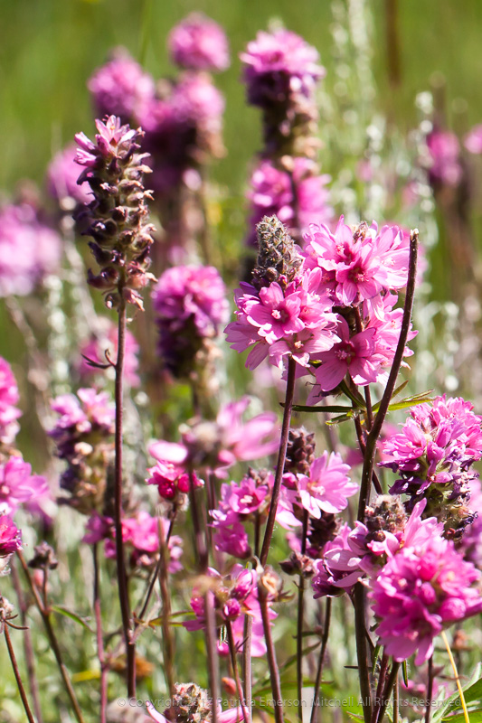 Unidentified_Flower,_Sierra_Nevada-2.jpg