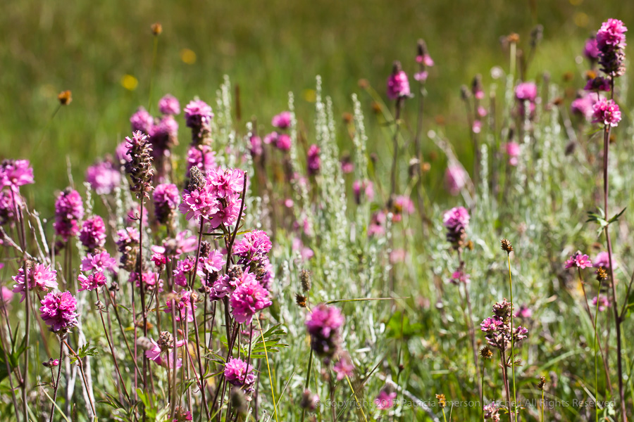 Unidentified_Flower,_Sierra_Nevada.jpg