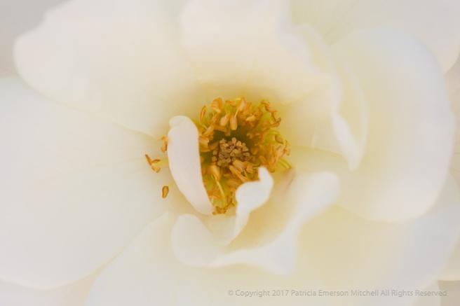 White_Rose_(I),_5.18.17.jpg