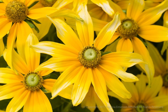 Yellow_Rudbeckia_(I),_7.11.17.jpg