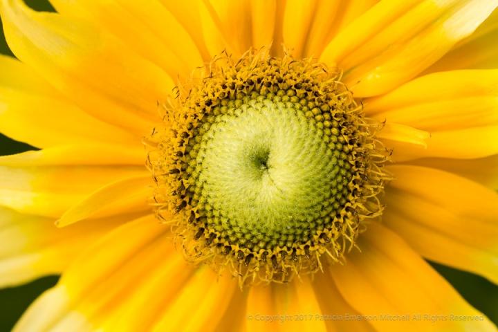 Yellow_Rudbeckia_(II),_7.11.17.jpg