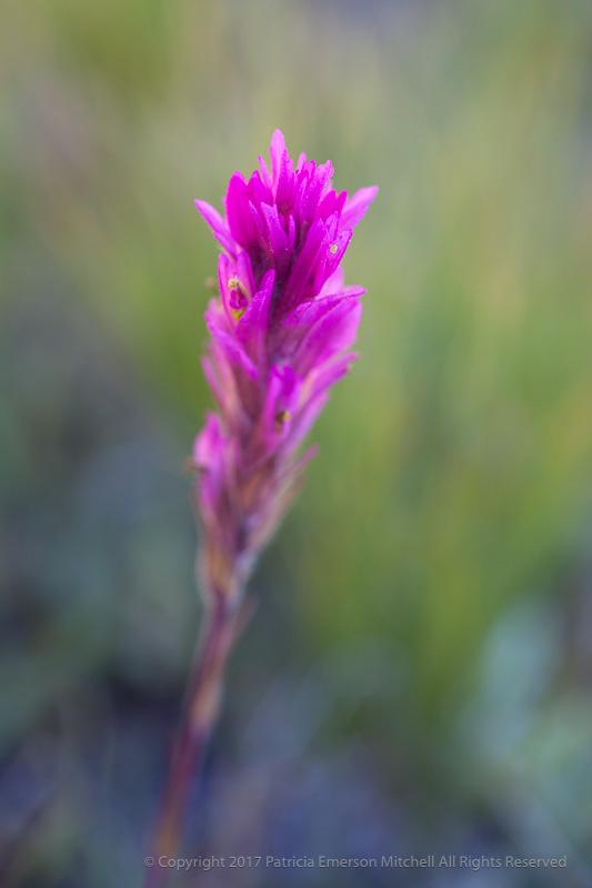 Yosemite_Wildflower,_8.15.17.jpg