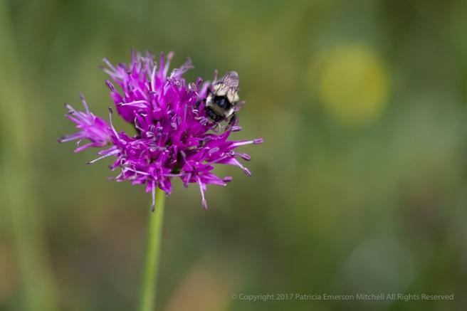 Allium_validum,_8.30.17.jpg