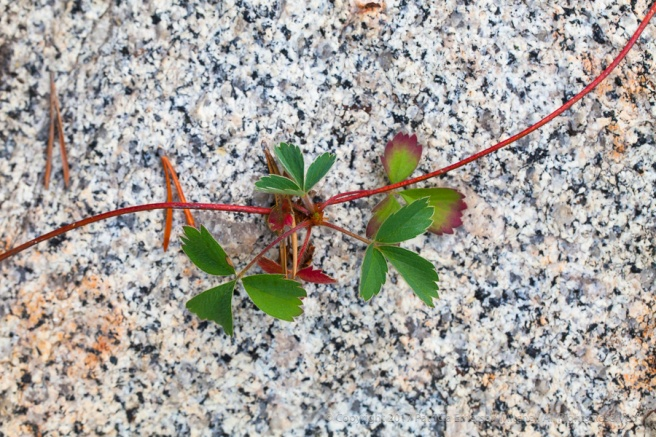 Leaves_on_Granite,_8.31.17.jpg