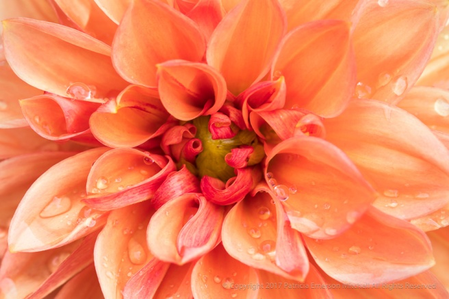 Orange_Dahlia_with_Water_Drops_(II),_8.3.17.jpg