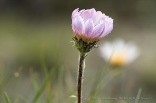 Pink_Sierra_Wildflower,_8.28.17.jpg
