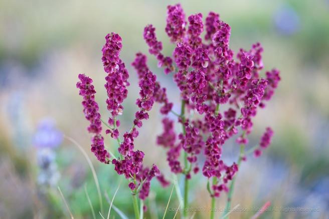 Sierra_Wildflower,_9.2.17.jpg