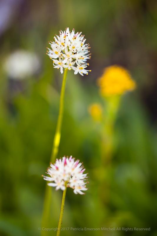 Small_Sierra_Wildflowers,_9.1.17.jpg