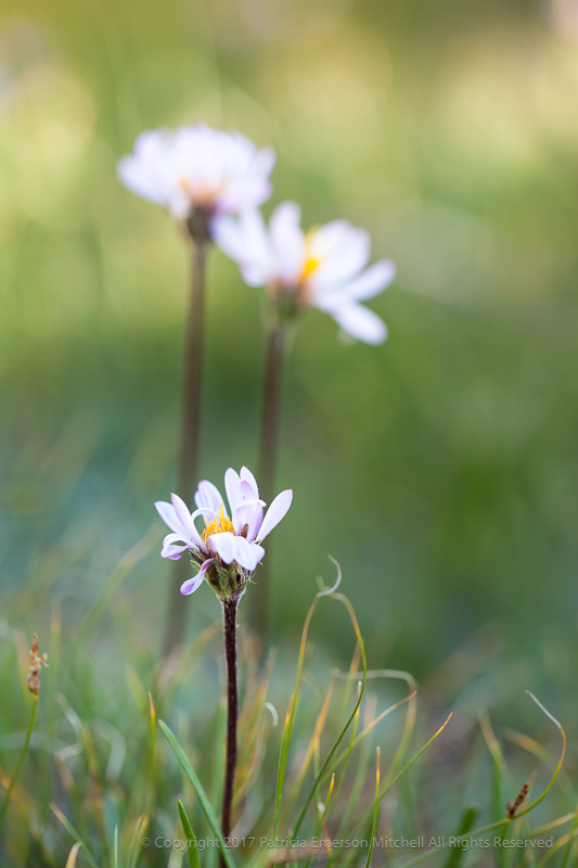 Three_Sierra_Wildflowers,_8.27.17.jpg