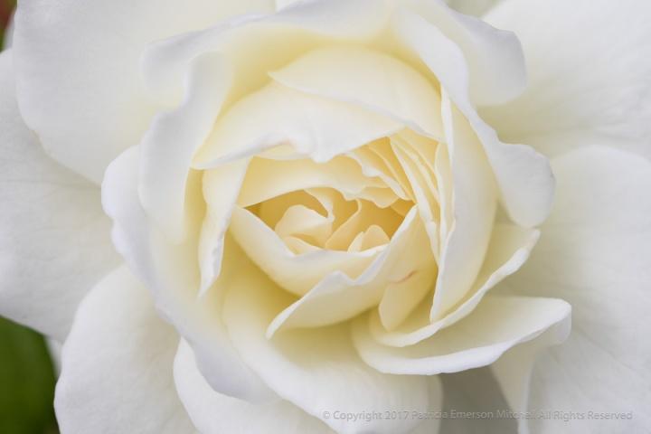 White,_Rose,_9.20.17.jpg