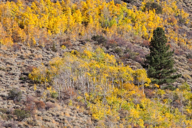 Aspens_and__an_Evergreen,_10.9.17.jpg