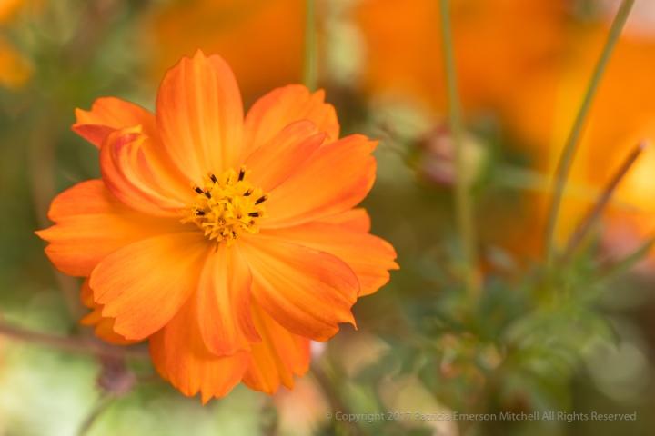 Orange_Cosmos,_10.24.17.jpg