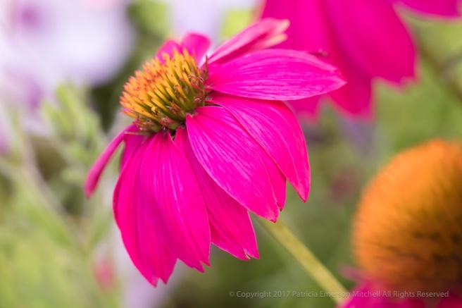 Pink_Echinacea_(I),_8.16.17.jpg