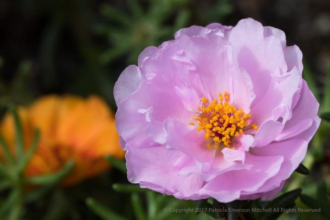 Portulaca_grandiflora,_9.13.17.jpg