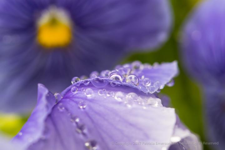 Water_Drops_on_Purple_Petals,_8.10.17.jpg