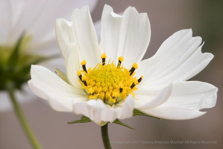 White_&_Yellow_Cosmos,_10.17.17.jpg