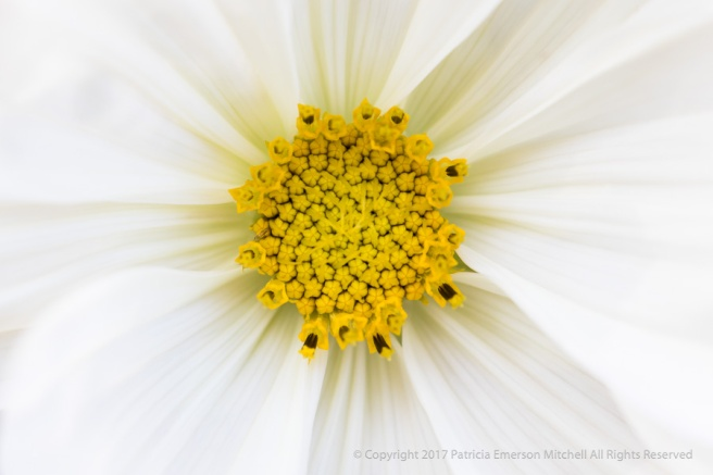 White_Cosmos,_7.31.17.jpg