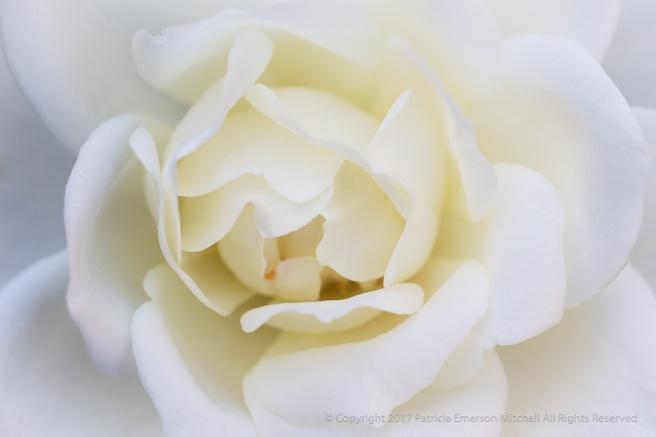 White_Rose_(I),_10.4.17.jpg