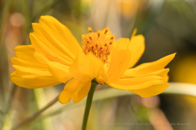 Yellow_Cosmos,_10.26.17.jpg