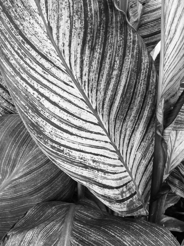 Canna_Leaves,_10.25.17.jpg
