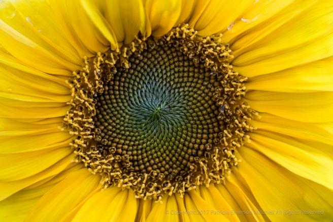 First_Shot-_Sunflower,_11.14.17.jpg
