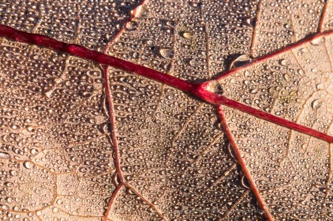 Leaf_with_Dewdrops,_11.29.17.jpg