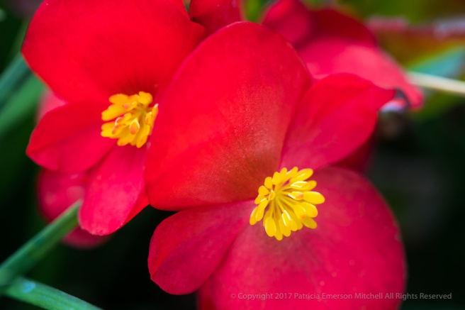Red_&_Yellow_Begonia,_10.23.17.jpg