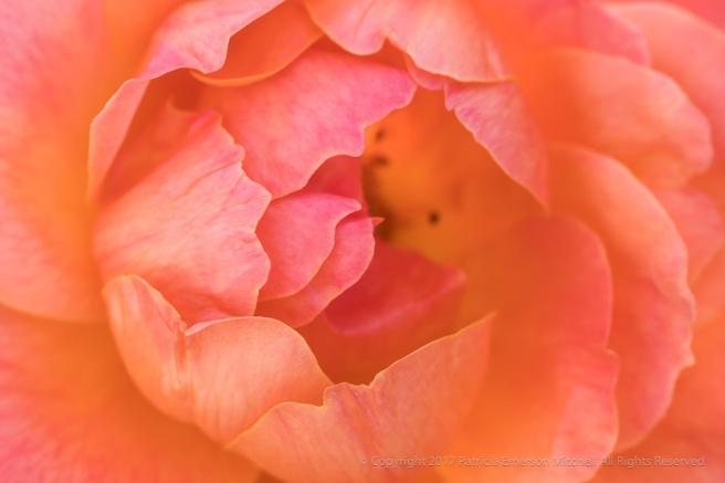Salmon_&_Pink_Rose,_10.24.17.jpg