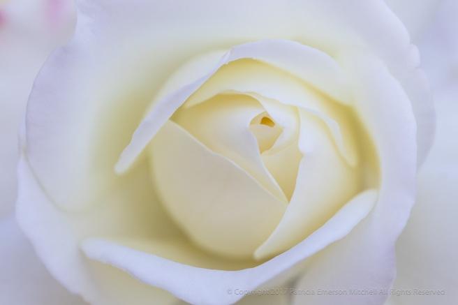 White_Rose_(I),_10.27.17.jpg