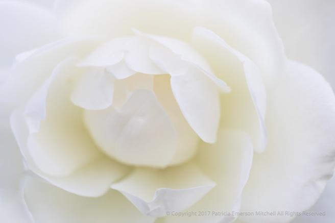 White_Rose,_(I),_11.7.17.jpg