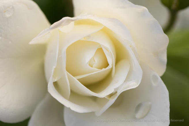 White_Rose_with_Water_Drops,_10.30.17.jpg