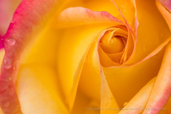 Yellow_&_Pink_Rose_with_Raindrops,_10.20.17.jpg